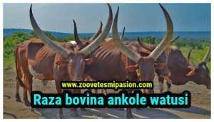 Raza bovina ankole watusi-min