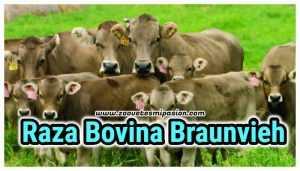 Raza de ganado lechero Braunvieh
