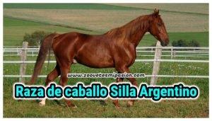 Raza Equina Silla Argentino