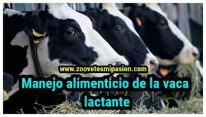 manejo alimenticio de la vaca lactante