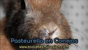 Pasteurelosis en conejos