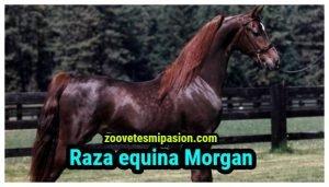Raza equina Morgan