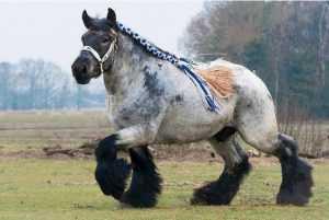 percherones-caballos