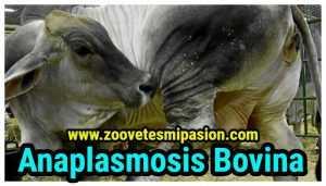 anaplasmosis del ganado