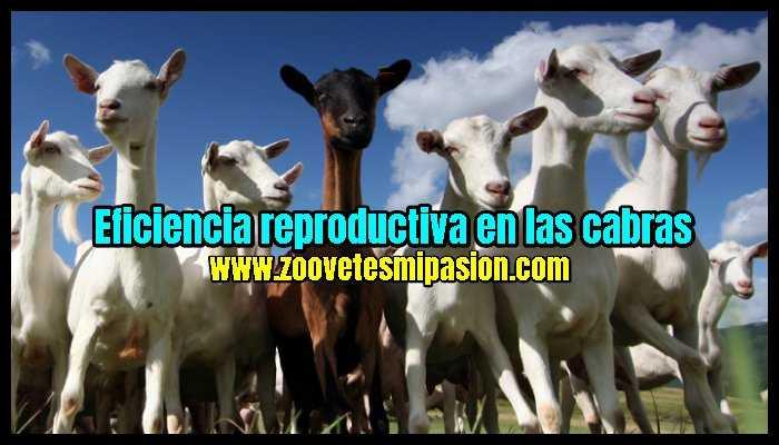 Eficiencia reproductiva en las cabras