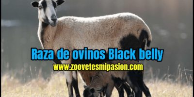Raza de ovinos Black belly