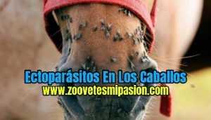 Ectoparásitos En Los Caballos