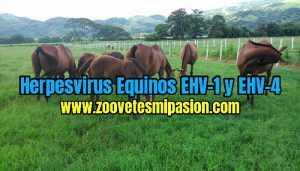 "Herpesvirus Equinos ""EHV-1"" y ""EHV-4"""