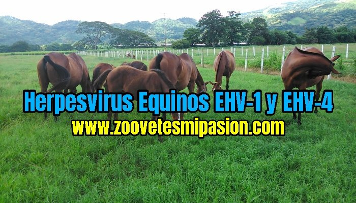 "Herpesvirus Equinos ""EHV-1"" y ""EHV-4"""