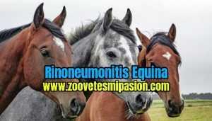 Rinoneumonitis Equina