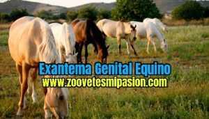 Exantema Genital Equino