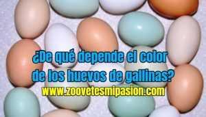 ¿De qué depende el color de los huevos de gallinas?