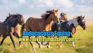 Rodococosis Equina