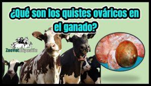 ¿Qué son los quistes ováricos de la vaca?