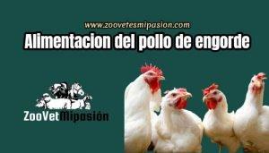 Nutrición y Alimentación del pollo de engorde-min