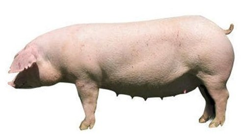 Cerdos reproductores Landrace