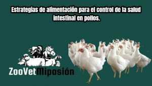 Estrategias de alimentación para el control de la salud intestinal en pollos.