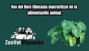 Uso del Bore (Alocasia macrorhiza) en la alimentación animal.