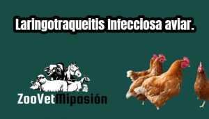 Laringotraqueitis Infecciosa aviar.