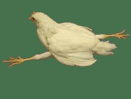 Parálisis de Marek (enfermedades en avicultura).