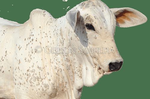 papilomatosis bovina